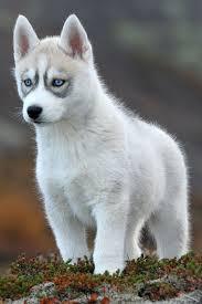 white husky wolf mix with blue eyes. Simple Mix LSiberianHuskypuppyThoseblueeyesjpg Intended White Husky Wolf Mix With Blue Eyes I
