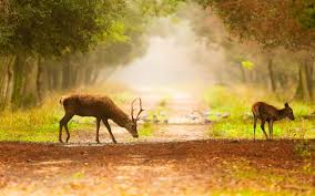 fall nature backgrounds with deer. Deer HD Wallpapers Pictures Photos Background Images Beautiful Nature Photography Wallpaper Animal Intended Fall Backgrounds With