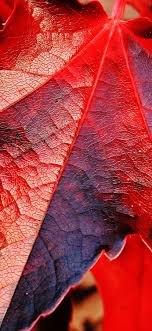 Red maple leaves macro photography ...