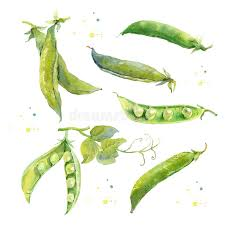 peas hand drawn watercolor painting on white stock ilration ilration of graphic