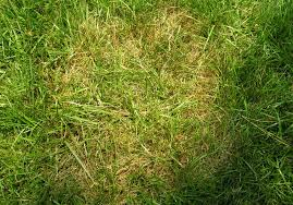 Brown Patch Large Patch Diseases Of Lawns Home Garden