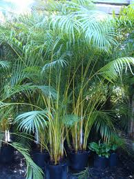 Areca Palm good for privacy around pool areas. Call for an estimate for  your pool