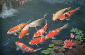 2594x1674 koi fish wallpaper for walls koi fish wallpaper free download koi  fish .