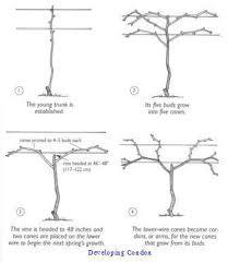 Pruning Training Grape Vines How To Grape Vine Trellis