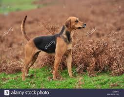 Old English Foxhound High Resolution ...