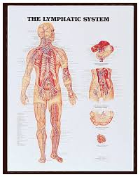 Body Systems Chart Anatomical Chart Series Body Systems Teaching Supplies