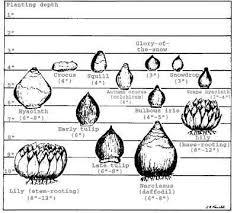 Www Backyarddiva Ca Bulb Planting Depth Chart Fall Plants