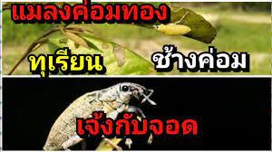 แมลงค่อมทองช้างค่อมตัวร้ายทำลายต้นทุเรียน - YouTube