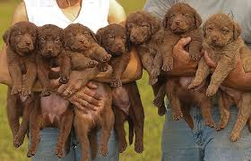 chesapeake bay retriever puppies chesapeake bay retriever dogs and puppies
