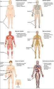The Human Organ Systems Human Anatomy And Physiology Lab