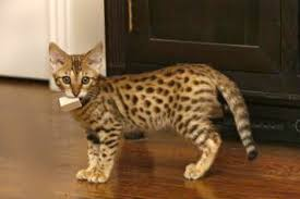 how much does a savannah cat cost
