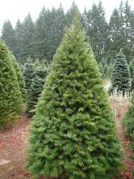 Common Christmas Trees Grown In MinnesotaTypes Of Fir Christmas Trees