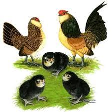 Buy Quail Belgian Danver Bantam Chicken Quail Belgian D