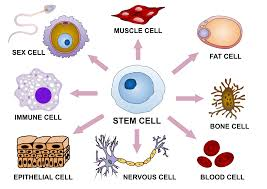 Differentiation In Art And Design Cellular Differentiation Wikipedia