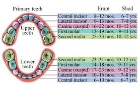 Which Baby Teeth Fall Out Chart General Timeline Of Baby Teeth Eruption And Falling Out