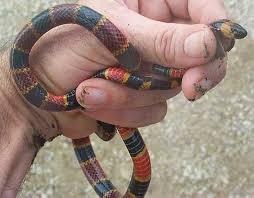 milk snake size mu peter warning colors part 3 evolution of coral snakes