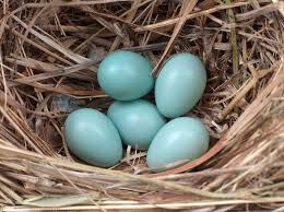 Small Light Blue Speckled Eggs Lessons Learned Outside The Classroom Common Starling