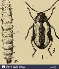 Corn Flea Beetle Elementary Entomology Entomology Fig 224 A Potato Flea