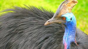 Image result for cassowary