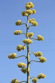 average american flower size agaves flowering like crazy succulent gardens