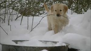 golden retriever puppies playing in snow.  Snow On Golden Retriever Puppies Playing In Snow YouTube