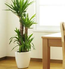 office plants for sale. Delighful Plants Best Large Indoor Plants Extremely Tall House Plant The  Ideas On Office To Office Plants For Sale