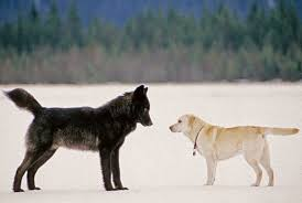 black wolf and white wolf pups. Delighful Pups The Wild Wolf Who Played With Dogs VIDEO For Black And White Pups G