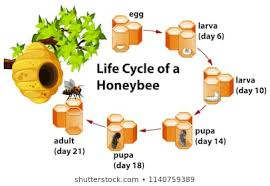 Bee Life Cycle Photos 752 Bee Life Stock Image Results