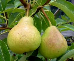 Ornamental Pear Tree Shapes  Plants  Hello Hello Plants U0026 Garden Fruit Tree Shapes