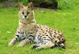 Resultado de imagen para imagenes de gatos savannah