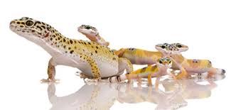 Leopard Gecko Age Chart Leopard Gecko Breeding Sexing