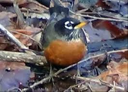 Baby Robins Growth Chart American Robins Habits What They Eat Where They Nest