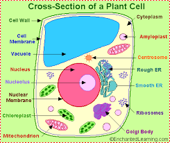 Organelles In Plant And Animal Cells Venn Diagram Plant Cell Anatomy Enchanted Learning
