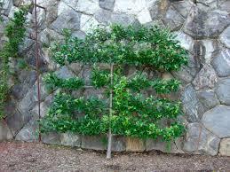 42 Best Fruit Trees Images On Pinterest  Dwarf Fruit Trees Apple Dwarf Fruit Trees Virginia