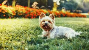 17 things only yorkshire terrier owners understand