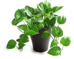 image of to enlarge pictures common houseplants images and names indoor plants low light best identify my houseplant pictures of common houseplants