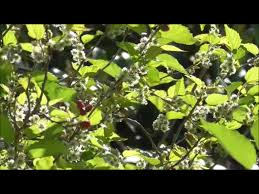 How To Tell If A Mulberry Tree Is Male Or Female  Garden GuidesNon Fruiting Mulberry Tree