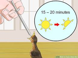 Baby Robins Growth Chart 3 Ways To Feed A Baby Bird Wikihow