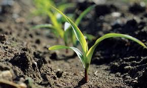 Corn Replanting Guidelines Golden Harvest