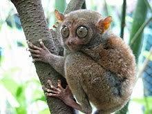 Image result for spectacled tarsier