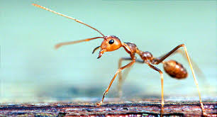 Get Fire Ant Bite Treatment Images