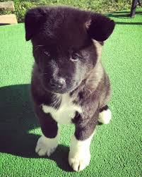 Akita Weight And Growth Chart Family Has Been Documenting The Growth Of Their Akita Puppy
