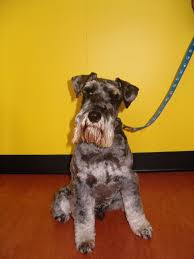 professional dog grooming doggy daycare standard schnauzer qld