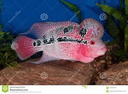 Aquarium Design For Flowerhorn Flowerhorn Fish In Aquarium Stock Image Image Of Cichlid