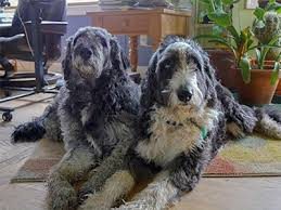 Aussiedoodle Size Chart Aussiedoodle Dog Breed Information Characteristics Petmoo