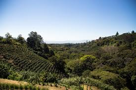 A coffee plantation in the orosí valley coffee production has played a key role in costa rica 's history and continues to be important to the country's economy. Starbucks Coffee Farm In Costa Rica
