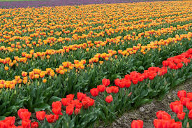 avoid the congestion in downtown mount vernon when coming to the tulip festival we recommend taking alternate routes during the busy times