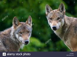 Zwei Graue Wölfe Canis Lupus Kopf Porträts Mit Feuchten