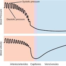 Blood Pressure Diagram Blood Pressure Biology For Majors Ii