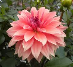 dinner plate dahlias for sale uk. photo of the bloom dinner plate dahlia (dahlia \u0027babylon bronze\u0027) posted by vic dahlias for sale uk
